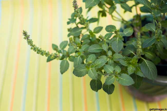 Tulsi: The Holy Basil