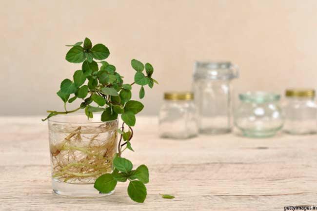 A Savoury Herb
