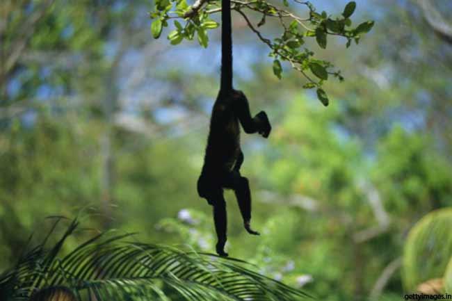 बंदरों के निशान