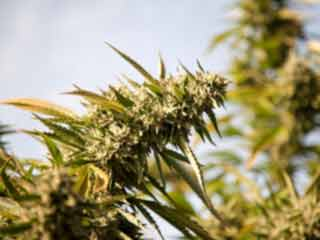 Frequent use of Marijuana can leave Teens with Lower IQ and Memory Loss