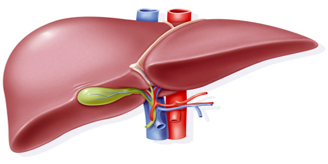 The Functions Of Liver In Human Body Digestive Diseases