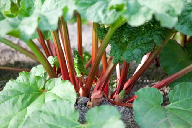 रेवंदचीनी की पत्तियां (Rhubarb Leaves)