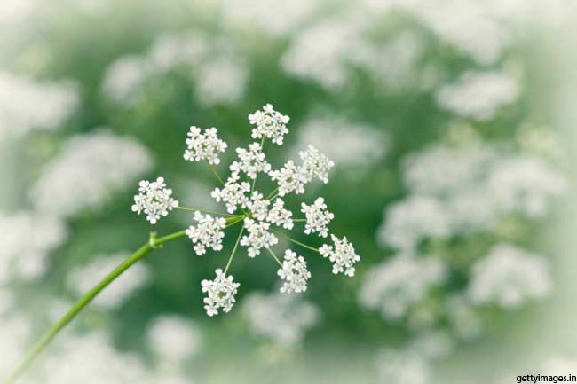 अजवायन के फूल