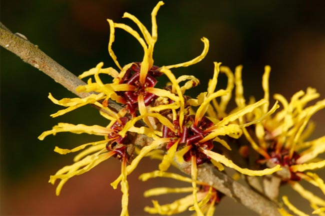 विच हेज़ल (Witch Hazel)