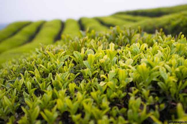 चाय के पेड़