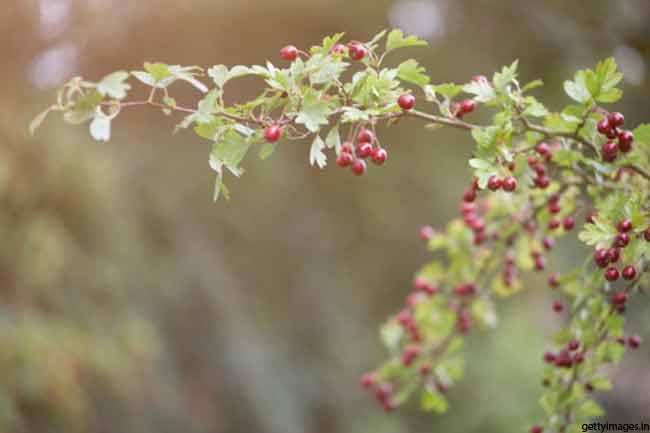 Hawthorn (Crataegus oxycanthus)