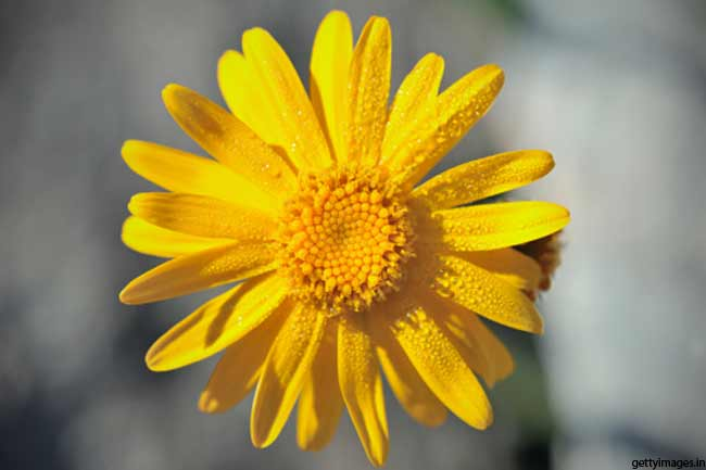 Arnica- more than just hair oil