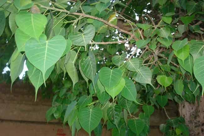 फायदेमंद है पीपल का पेड़