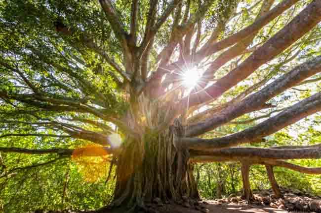 पीपल का पेड़