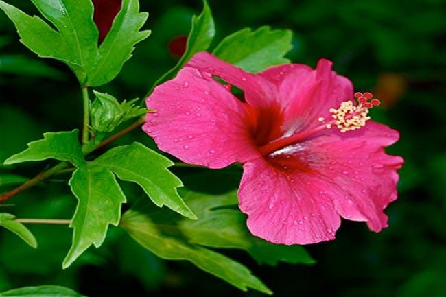 वजन करने वाला फूल है गुड़हुल