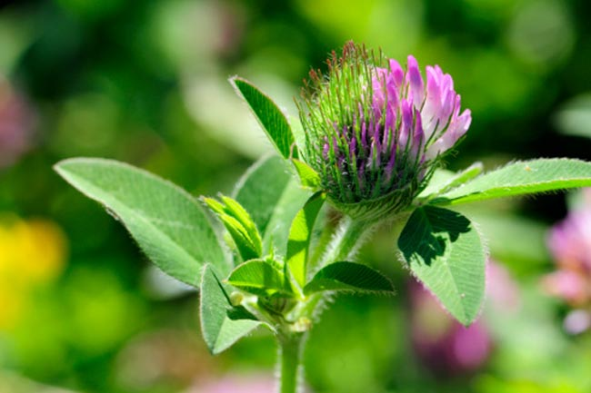 रेड क्लोवर (Red Clover)