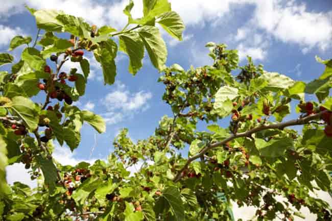 शहतूत (Mulberry)
