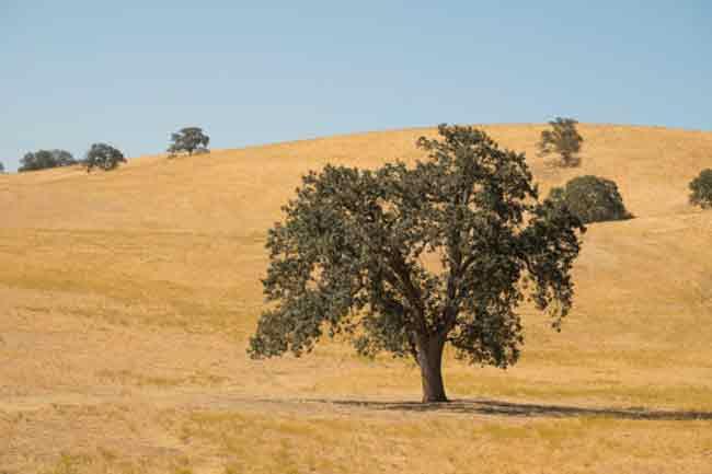 बांज (Oak)