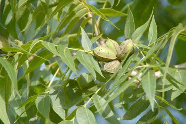 पीकन - एक प्रकार का अखरोट (Pecan)