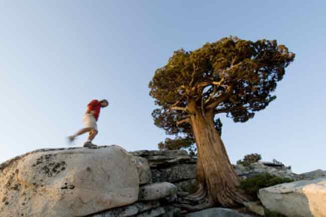 पर्वतीय देवदार (Mountain cedar)