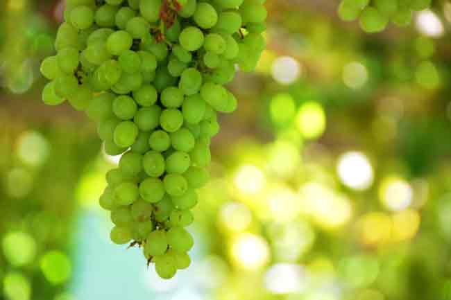 Grapes for Resveratrol