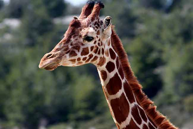 Humans and Giraffes have 7 Cervical Vertebrae