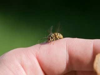 मधुमक्खी डंक मारे तो इन 7 तरीकों से करें उपचार