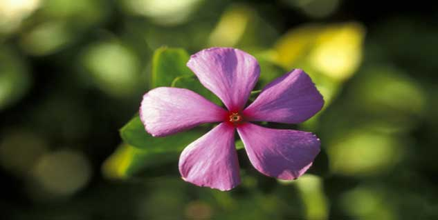 health benefits of vinca
