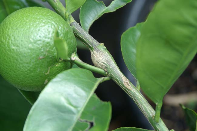 Lime tree stem