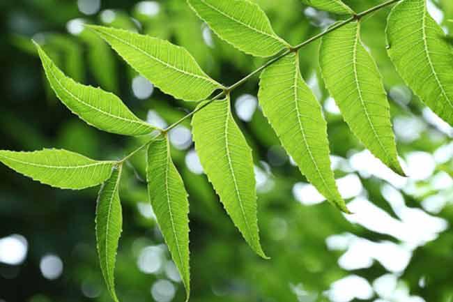 Neem leaf stem