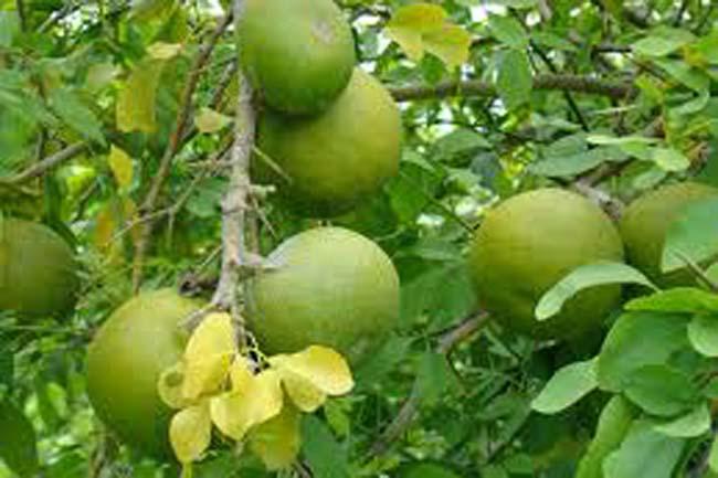 बेल का फल