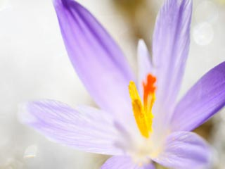 7 Benefits of Saffron for Skin