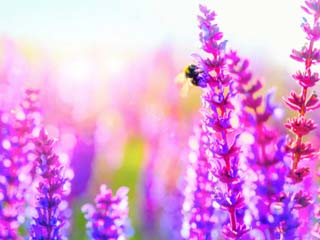 5 Healing properties of lavender
