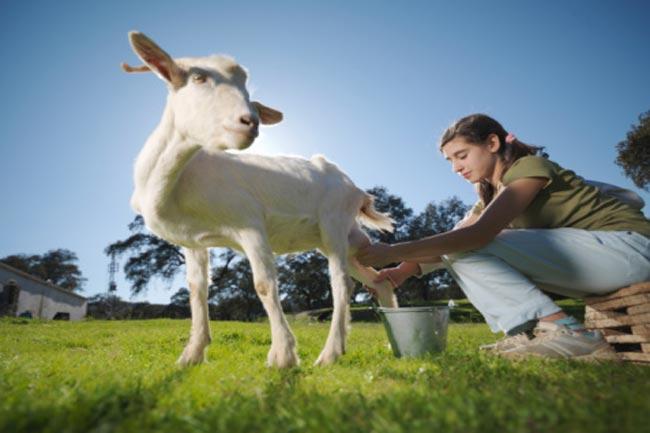 बकरी का दूध