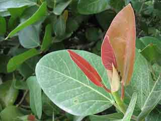 पिंपल्स ही नहीं दूसरी समस्याओं में भी फायदेमंद है बरगद का पेड़