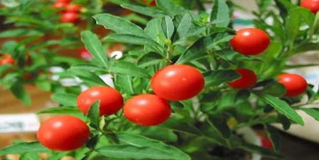 Ashwagandha, a herb used in ayurvedic practice