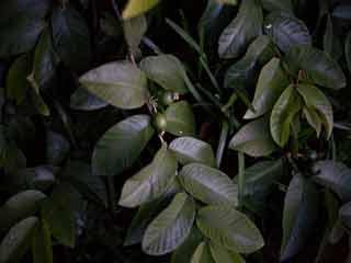 अमरूद की पत्तियों में छिपा है हर बीमारी का इलाज