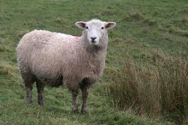 भेड़ का पसीना