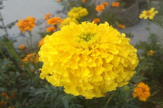 गेंदा फूल