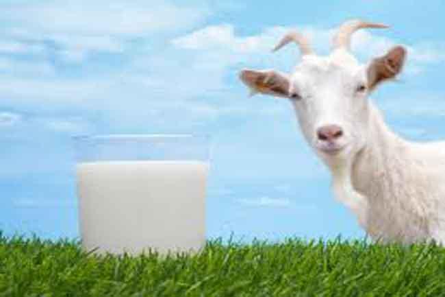 प्रभावशाली दवा है बकरी का दूध