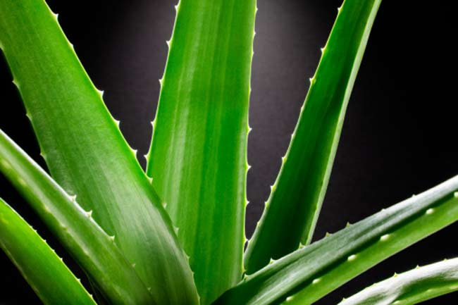 The Aloe or Aloe-vera