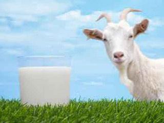 डेंगू के उपचार में बहुत प्रभावी है बकरी का दूध