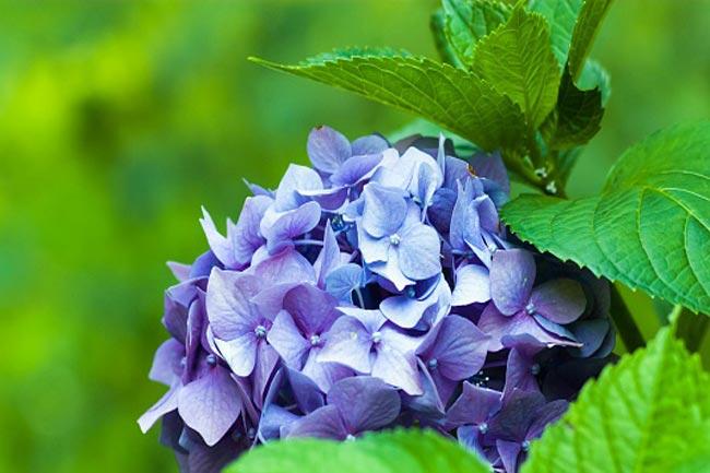 हाईड्रैंगिया और लिलैक फूल