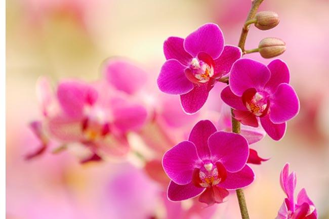 ऑर्किड और ट्यूलिप फूल