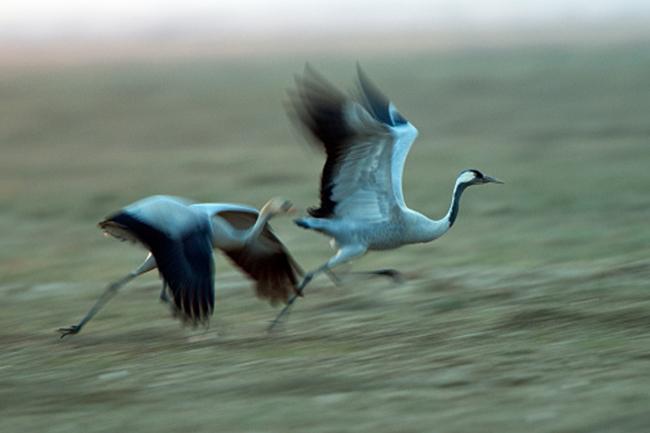 पक्षियों का प्रवास