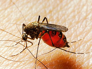डेंगू, चिकुनगुनिया के बाद अब भारत के लिए नया खतरा 'जापानी इंफेलाइटिस'