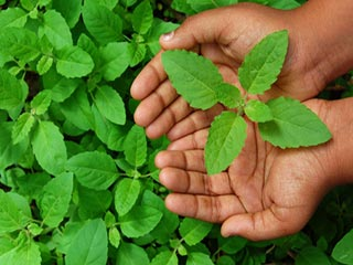 Use tulsi to relieve anxiety and cough naturally
