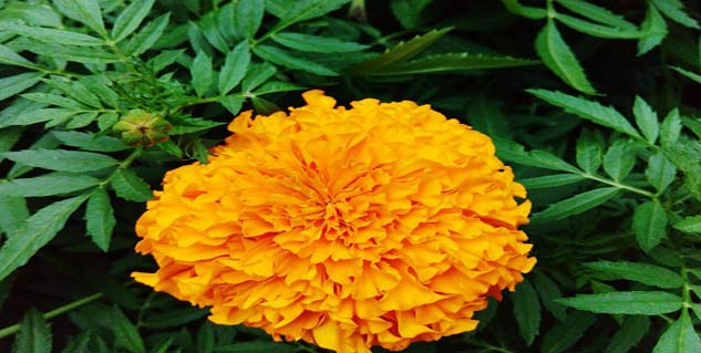 marigold flower in hindi