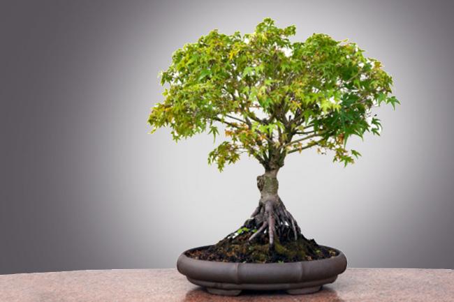 बोनसाई का पौधा