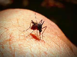 ये मच्छर मिटाएगा मलेरिया का नामो-निशान