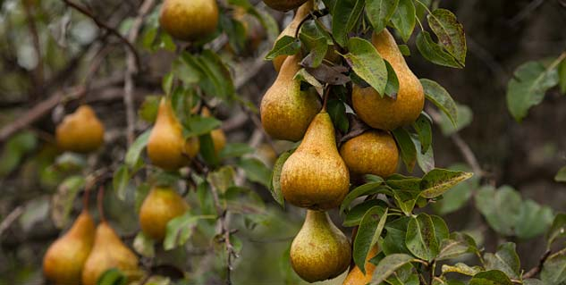 Health benefits of pear fruit you did not know