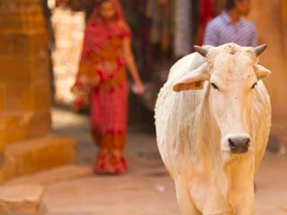 Uses and benefits of cow urine gomutra