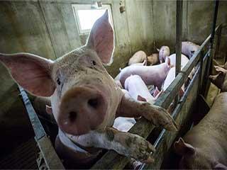 मेडिकल साइंस में क्रांति ला सकेगा सुअरों की मदद से इंसानों में अंगों का ट्रांसप्लांट