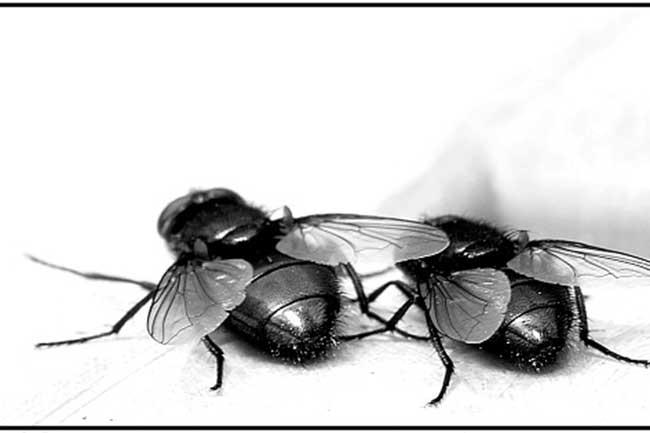 घरेलू मक्खी