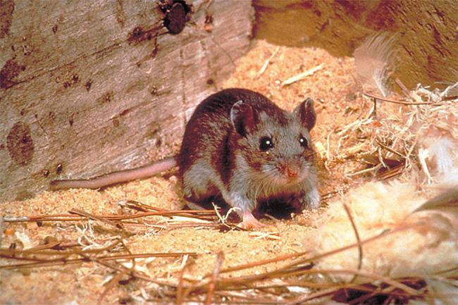 18 महीने में 2 लाख वंशज पैदा कर सकते हैं चूहे